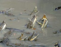 Alligators_765