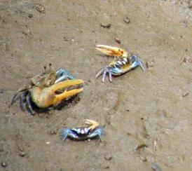 Crabs_995