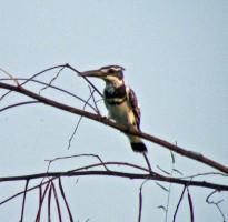 Kingfisher_295