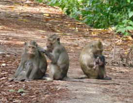 Macaques_800