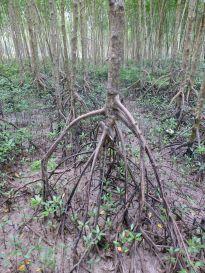 MangroveRoots_621