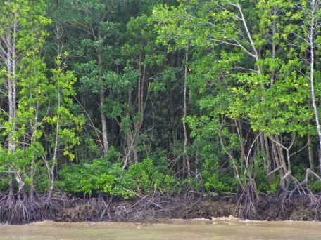 MangroveTrees_5325
