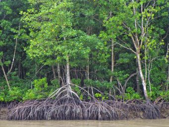 MangroveTrees&roots_5327