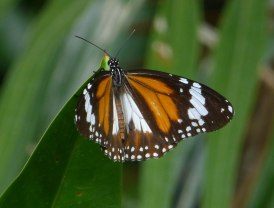 ButterflyCanGio_974