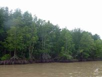 MangroveForest_610