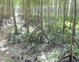MangroveRoots_703
