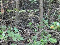 MangroveRoots_969
