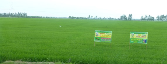 RiceFields_499
