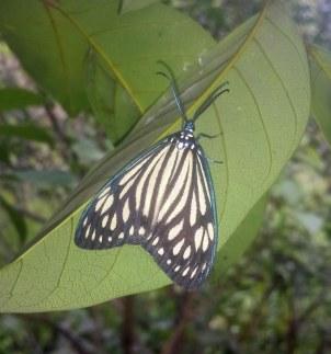Butterfly_Vietnam