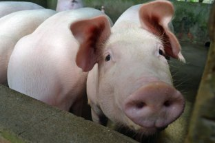 PigFace_0662