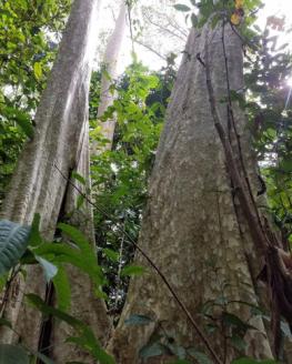 Bang Lang Tree