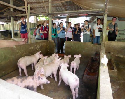 Pigs VACB Farm with Students 380