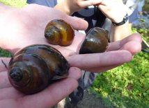 Pond raised snails 278